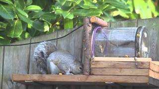 Nuthouse Squirrel