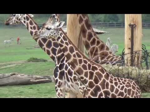 Rothschild's giraffe (Giraffa camelopardalis rothschildi) Prague Zoo ג׳ירף רוטשילד