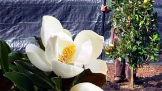 **Plant a Magnolia grandiflora 'Little Gem''**++White Flowering Shade Tree++