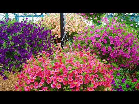 How To Plant Million Bells Hanging Basket Guide Youtube