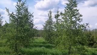 Видео онлайн лиственницы европейской и ели сибирской из питомника саженцев.