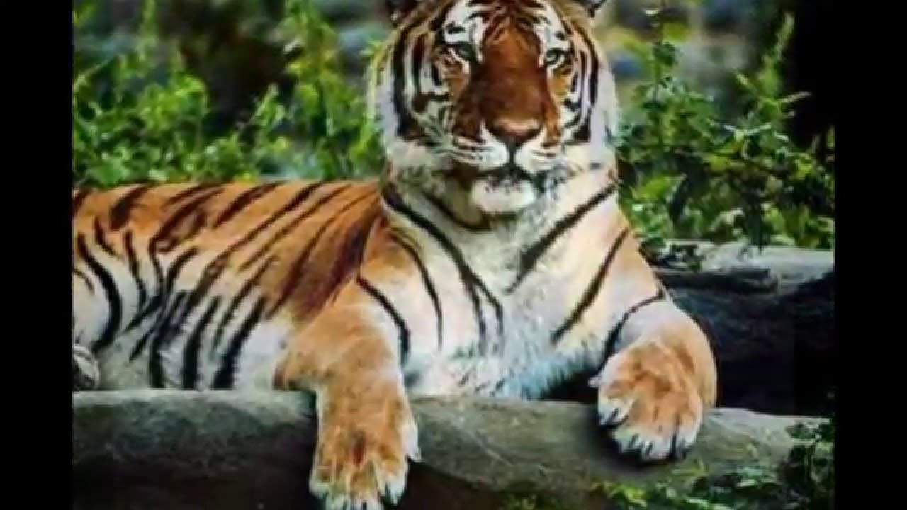Different Types Of Tigers - Youtube-9171
