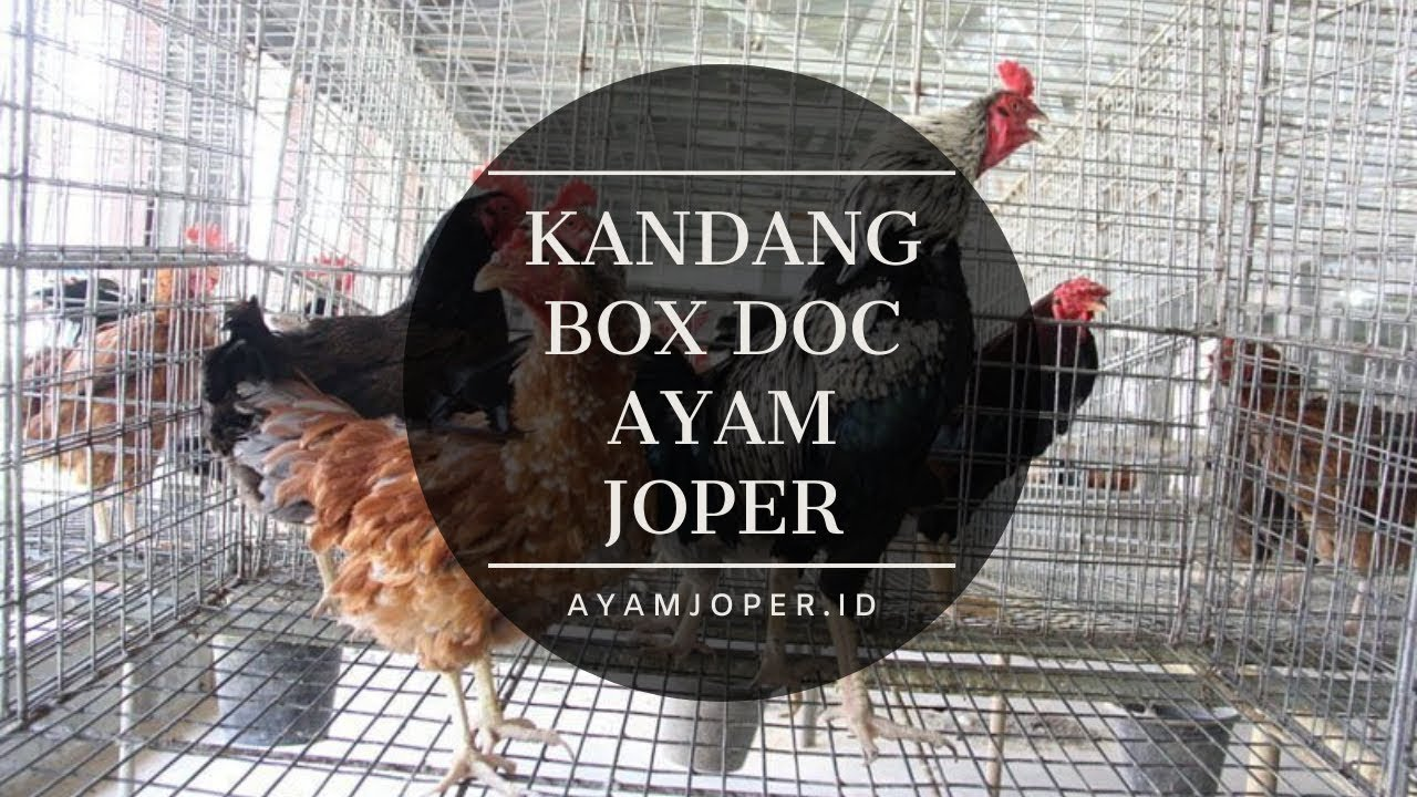 Kandang Box Doc Ayam Joper - YouTube