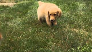 Puppies For Sale - Mighty / Woody - Golden Retrievers