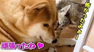 2回目の予防接種から帰ってきて柴犬に甘える子猫 Second vaccination of kitten