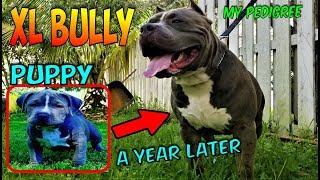 KONG From Puppy To One Year Old XL American Bully Pitbull  -  Before And After