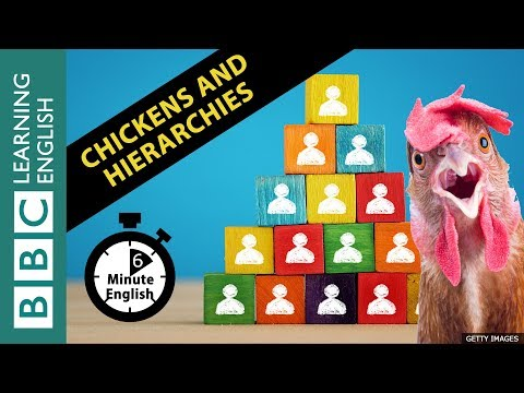 What chickens can teach us about hierarchies: 6 Minute English Mp3