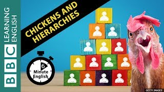 What chickens can teach us about hierarchies: 6 Minute English