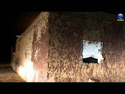 Scary signs ! Terrible swarms of locusts Invades Saudi Arabia, Al-Qassim, Al-Rass