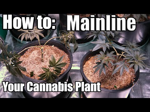 How To: Mainline Your Marijuana Plant