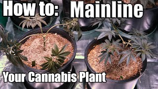 How to: Mainline your Marijuana Plant