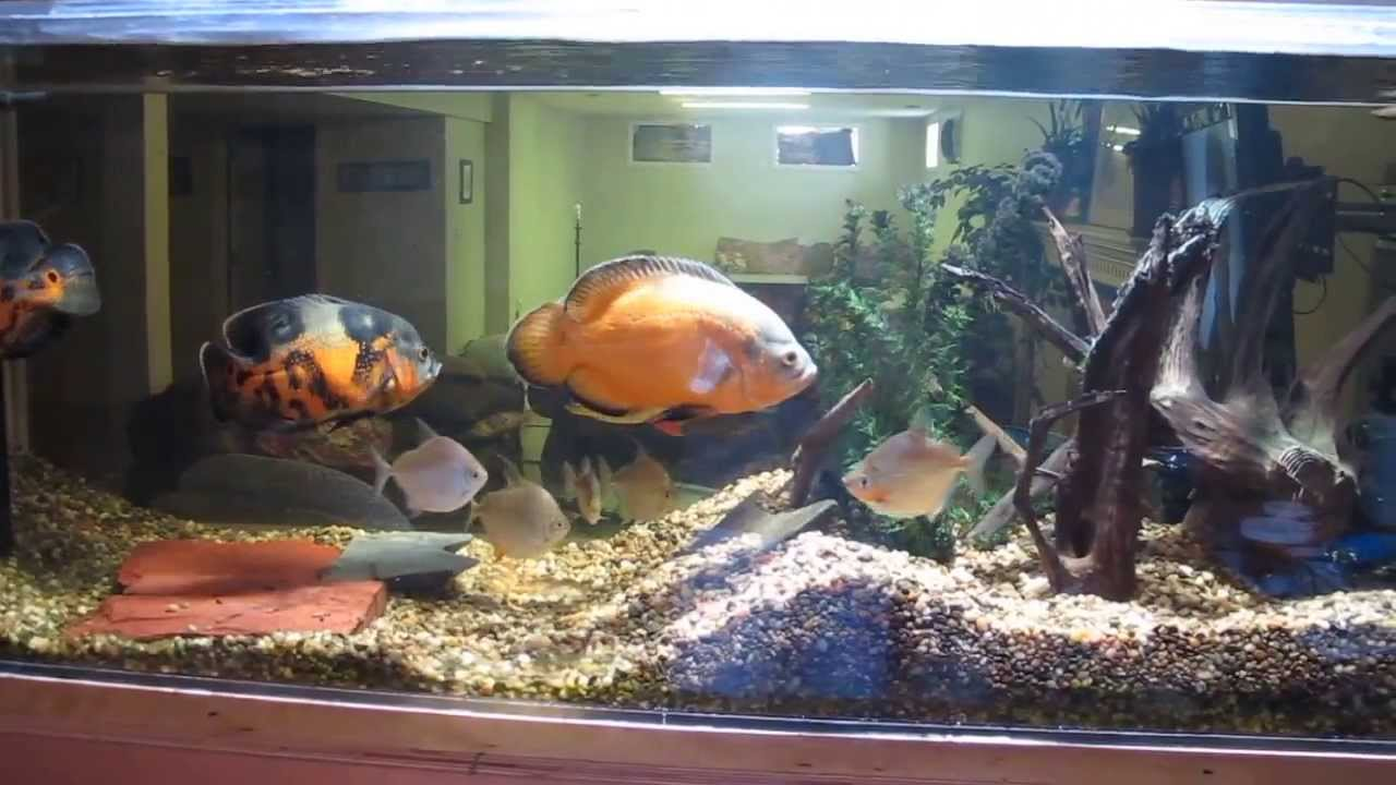 Update 250 Gallon Oscar Aquarium Youtube
