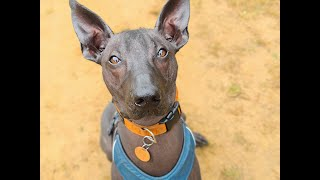 Jago the Xoloitzcuintli - 4 Weeks Residential Dog Training