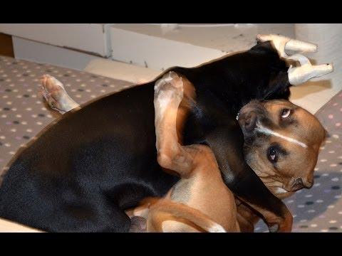 Doberman vs Pitbull Full Fight in HD 1080p Dog Fight