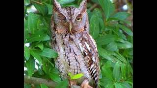 Male Screech Owl Guarding Nest Box