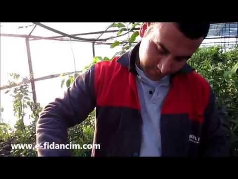 Semizotu Tohumu Nasıl Çimlendirilir Nasıl Ekilir Ne Zaman Ekilir Satışı Fiyatları