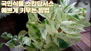 플랜테리어 국민식물 스킨답서스 죽는 이유와 살리는 방법…