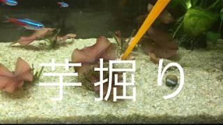 芋掘り ぺぺのエビ日記 thumbnail