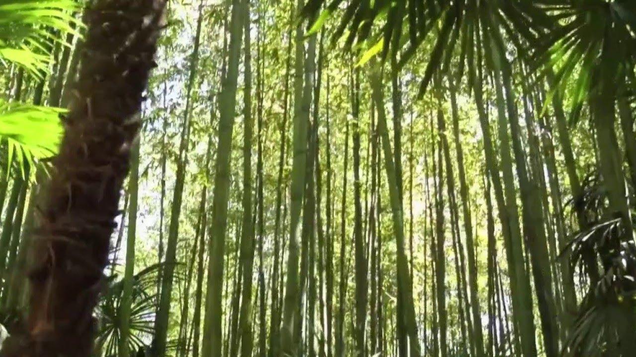 Comment Se Débarrasser Des Bambous Dans Le Jardin jardin - bambous, les plantes envahissantes