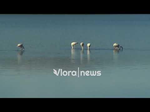Vlorë  vizitorë  te rrallë  në lagunën e nartës