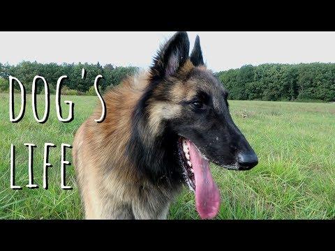 A HARD DOG'S LIFE | Belgian Shepherd Tervuren
