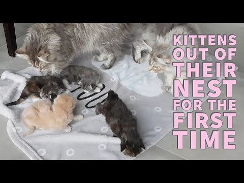 Maine coon kittens come out of their nest for the first time