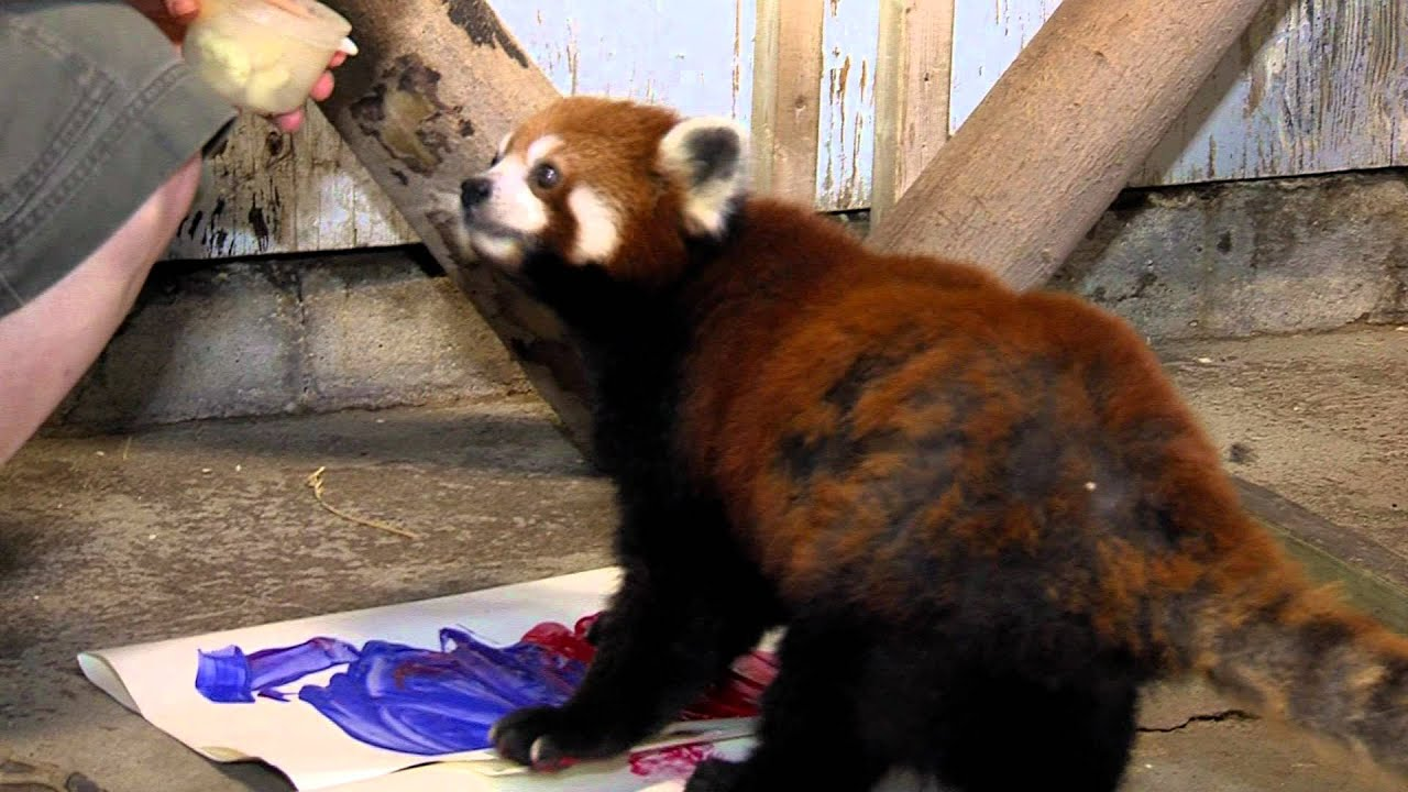 Red Panda Art Cincinnati Zoo Youtube