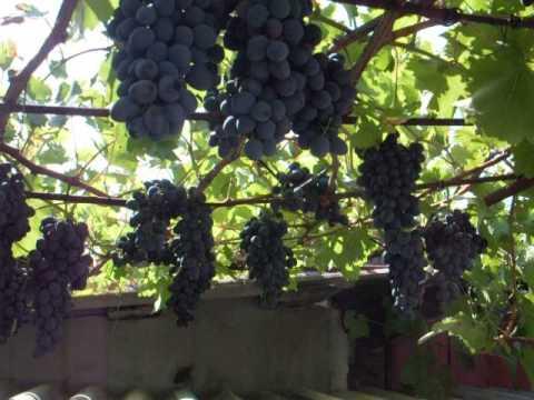 """Лучший виноград 2015  """"Кубань"""", см.также Поместье Николая - сад"""