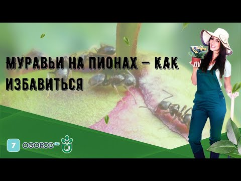 Вопрос: Почему на садовых пионах всегда ползают муравьи?