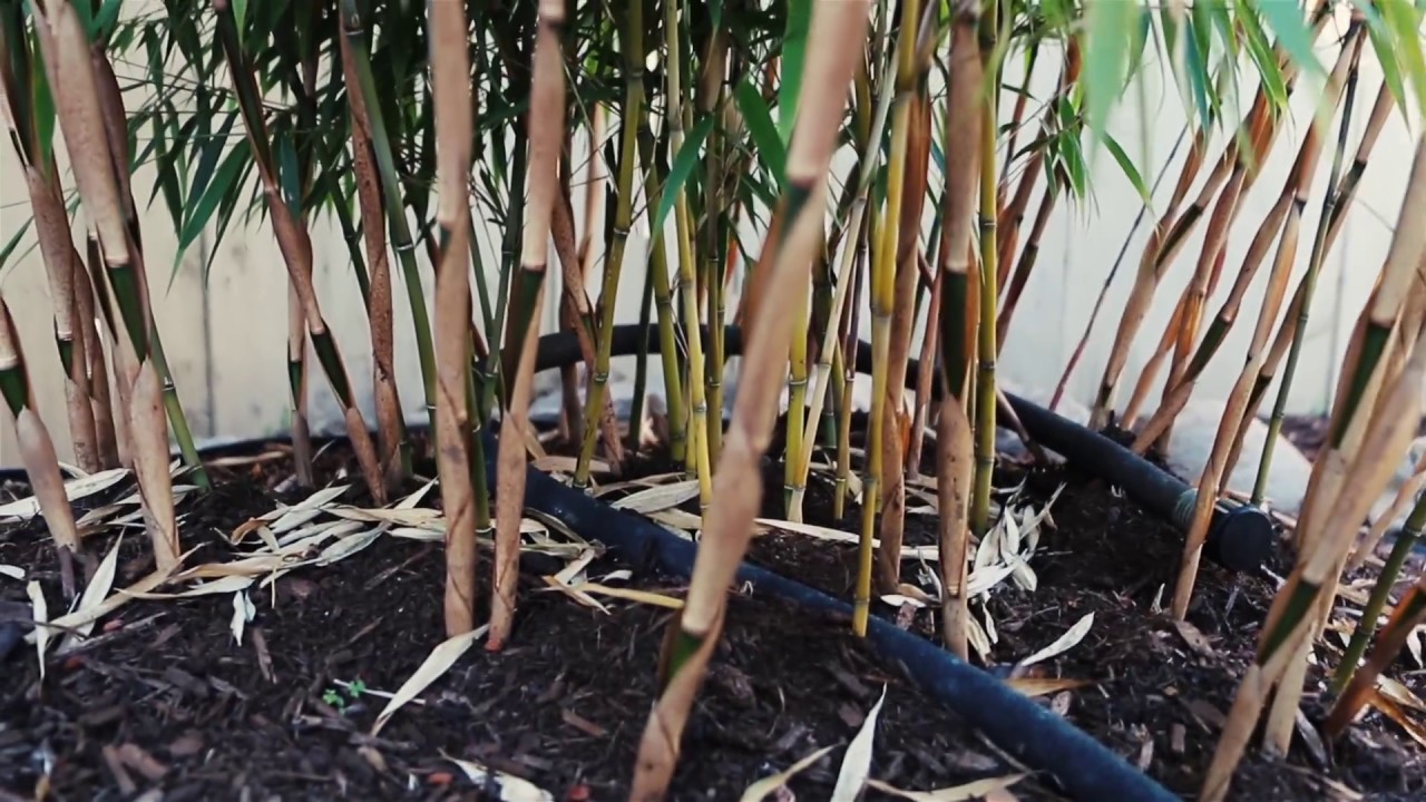 Clumping Bamboo Scabrida And Robusta Pacific Northwest