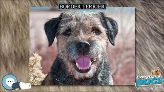 Border Terrier  Everything Dog Breeds
