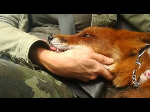 Those Crazy Sounds That Foxes Make...
