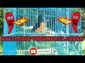 Pancingan Murai Borneo Suaranya Pedas Bikin Murai Lain Gregetan White Rumped Shama  Mp3 - Mp4 Download