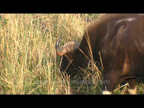 Indian Gaur grazing in a field, Satpura National Park