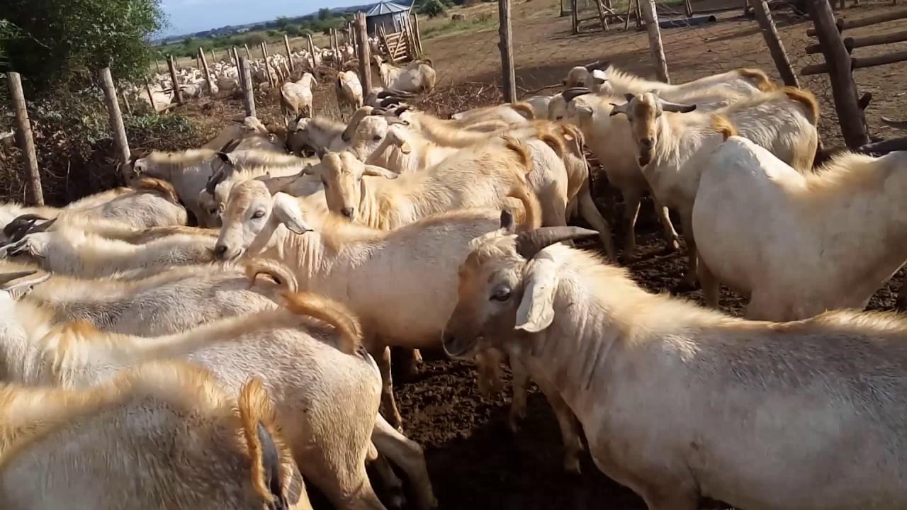 galla goat herd youtube