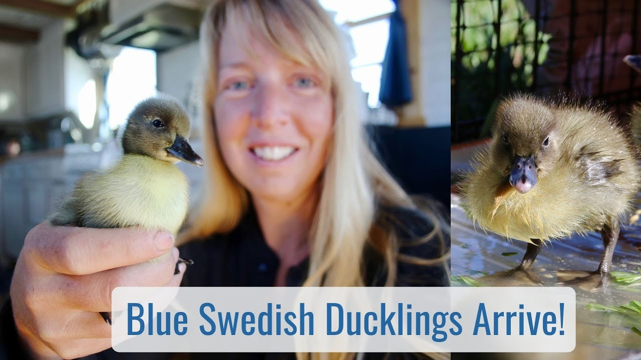 Life in a Tiny House called Fy Nyth - Blue Swedish Ducklings Join the Homestead!