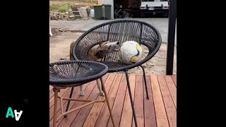 Whippet Can't Quite Reach his Favourite Ball