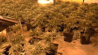 Trzy plantacje marihuany zlikwidowane przez policjantów CBŚP