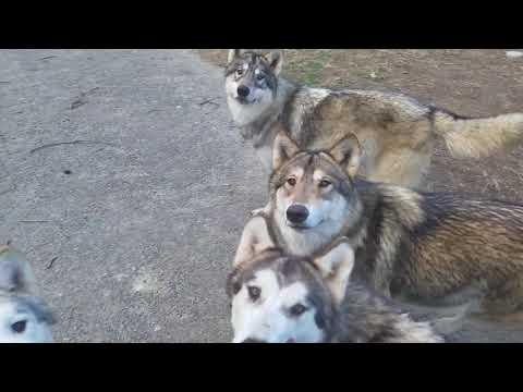 狼焼き芋を持って犬の群れに入ったら