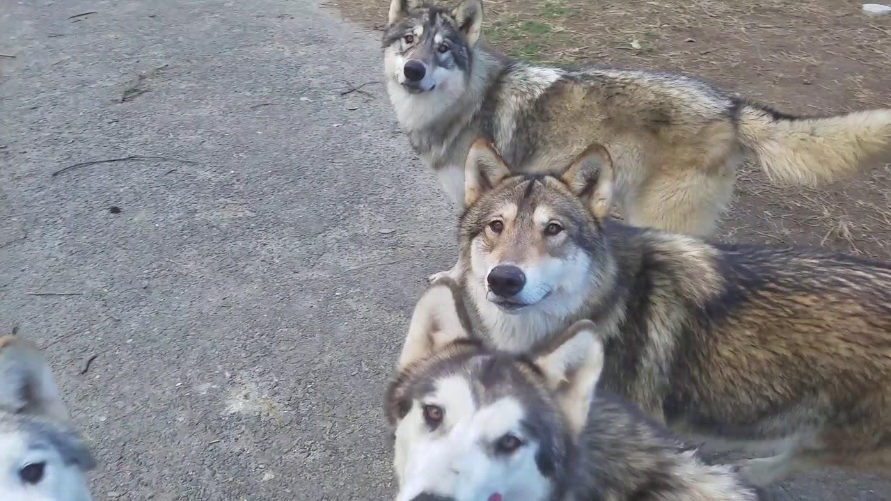 焼き芋を持って狼犬の群れに入っ...