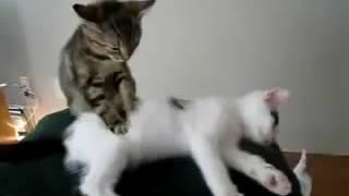 скачать видео бесплатно смешные кошки
