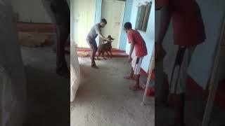Shivay Dog Training Centre, Morshi, Amravati. Trainer Prashant Chare(9552781420)