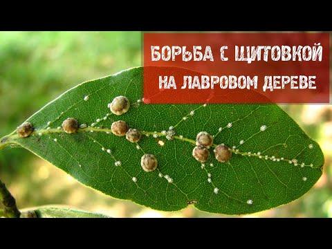Борьба с щитовкой на лавровом дереве.