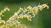 Аир - описание растения, полезные свойства и применение - YouTube