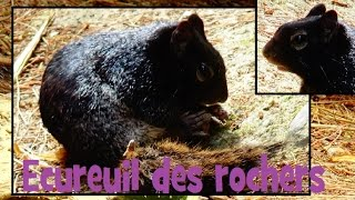 Spermophilus variegatus (Erxleben, 1777) - Ecureuil des rochers - Ménagerie Paris - 09/06/2015