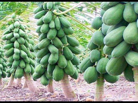 how to grow red lady papaya