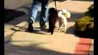 San Diego Temecula Dog Training Camps Poodles Max & Lou