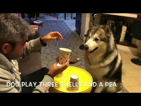 Never gamble with this dog Oakley the alaskan malamute