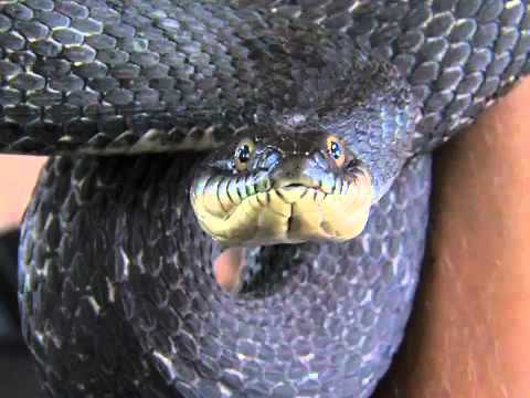 Lake Erie Water Snakes