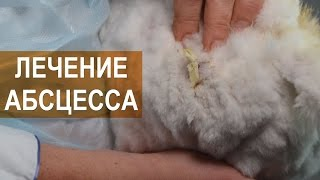 Лечение абсцесса у кроликов. Арт-Ферма RUSANGORA